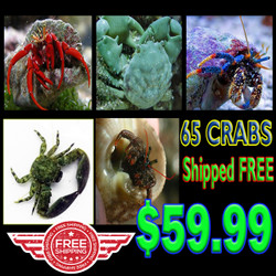 Caribbean Crab Crew - 65 Awesome Crabs - Shipped FREE
