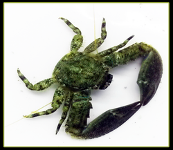 Saltwater Porcelain Crab
