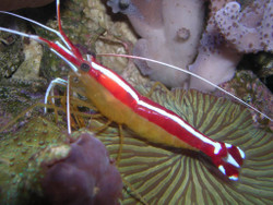 Cleaner Shrimp -Large