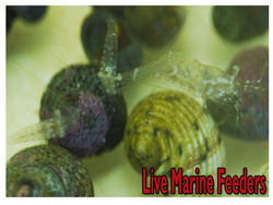 Live Marine Feeder Shrimp (palaemonetes pugio)