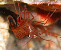 Saltwater Peppermint Shrimp