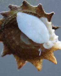 Astrea phoebia