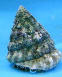Banded Trochus Snail