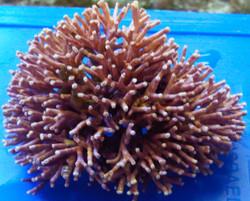 Rigid Coralline Algae Cluster