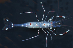 Anton Brunns Cleaner Shrimp (Urocaridella antonbruunii)