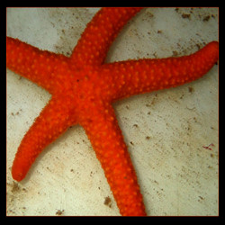 Orange Fromia Starfish (Fromia sp)