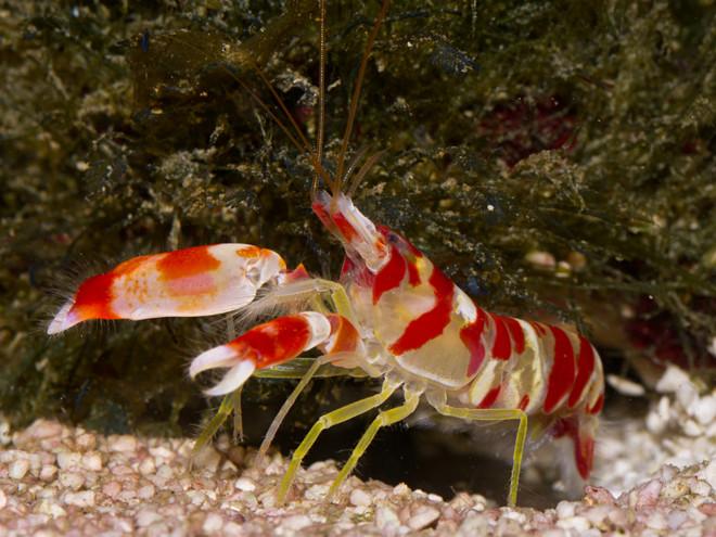 Sexy shrimp for sale
