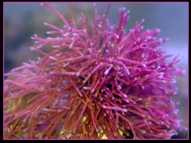 Rigid red - hot pink macro algae