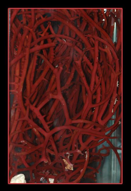 Red Tree Gracilaria (Gracilaria sp)