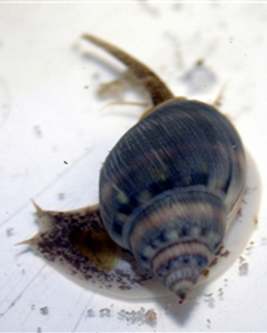 Tonga Nassarius Snails - (nassarius distortus)