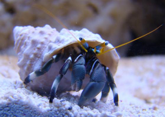 left handed zebra hermit crabs aquarium depot