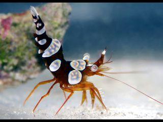Sexy dancer shrimp