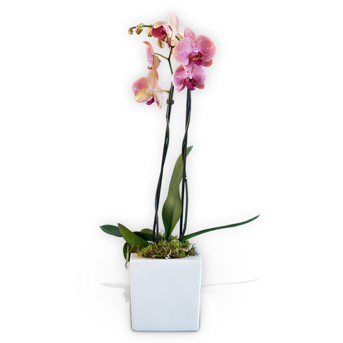 Pink potted orchid delivery flower station potted pink orchid mightylinksfo