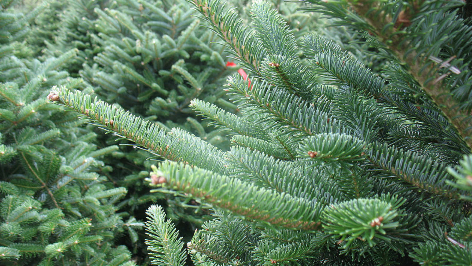 Christmas Tree Delivery London | Christmas Trees Delivered - Flower ...