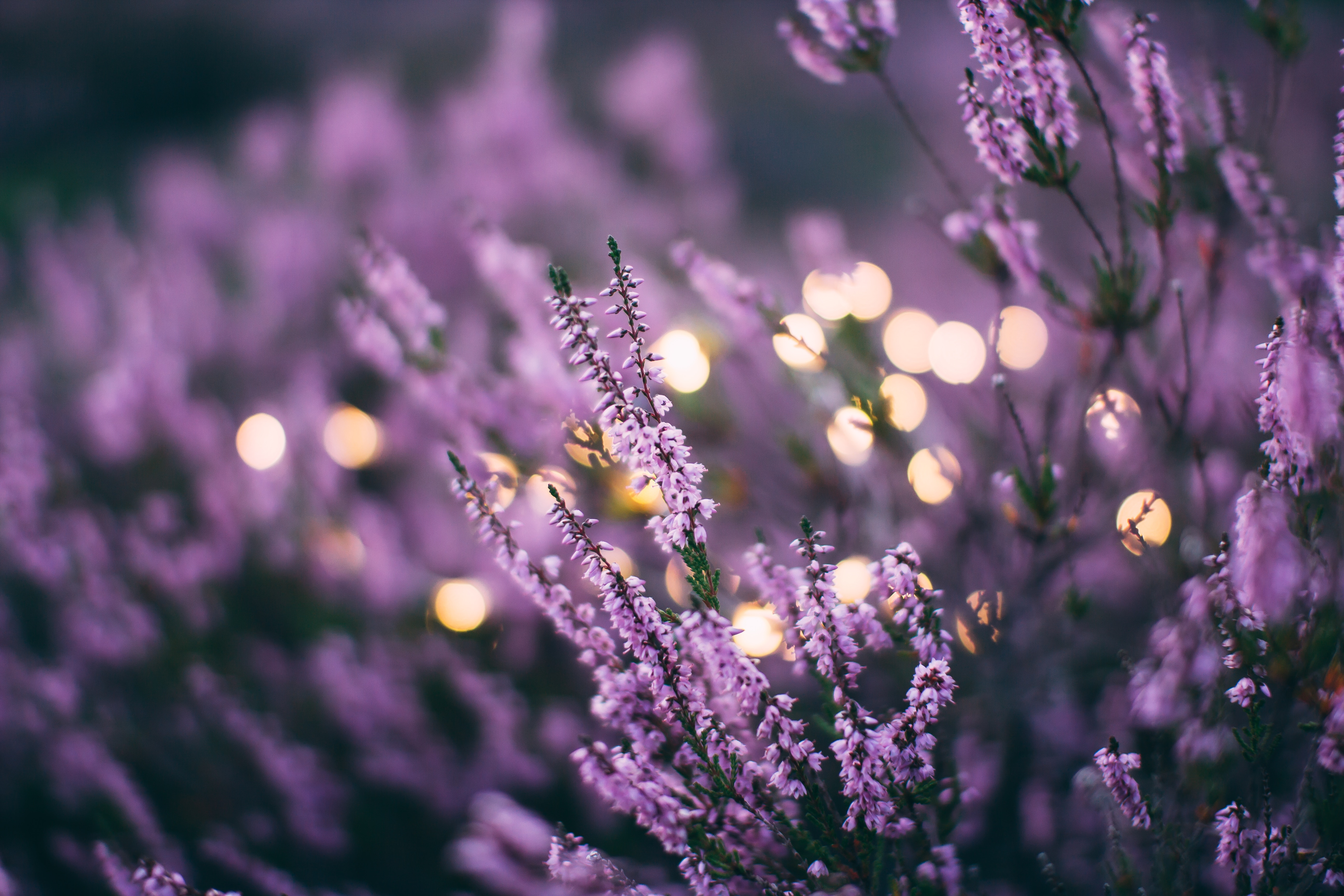 A Few Ways Lavender Can Help Improve Your Life