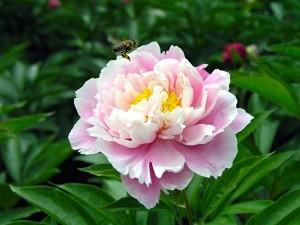 Ornamental peony in bloom