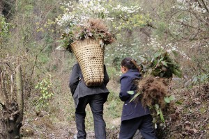 Guijianyu being harvested by local wild-crafters in North Sichuan.