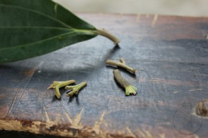 Vietnamese cinnamon leaf with Guizhijian (Cinnamon Twig Tips; L) and Guiding (Cinnamon Leaf Stem; R)