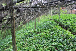 Traditional style cultivation of Huanglian seedlings in near wild conditions in the cool and damp environment of Western Hubei