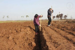"""Local peasants in the Huai region of Henan dig deep ditches to prepare for the planting of the medicinally most valuable Tiegun Shanyao (""""Iron Rod Shanyao"""") species of Dioscorea opposita."""
