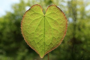 Single epimedium leaf