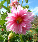 Dahlia tubers 1 lb grown at Seven Springs Farm SOLD OUT for Season