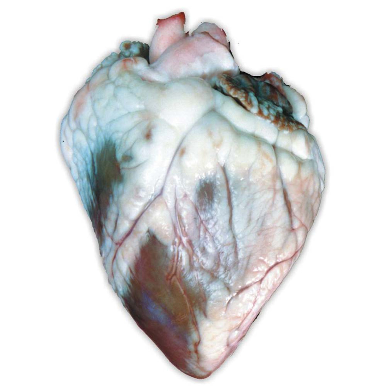 Preserved Sheep Heart Dissection Specimen