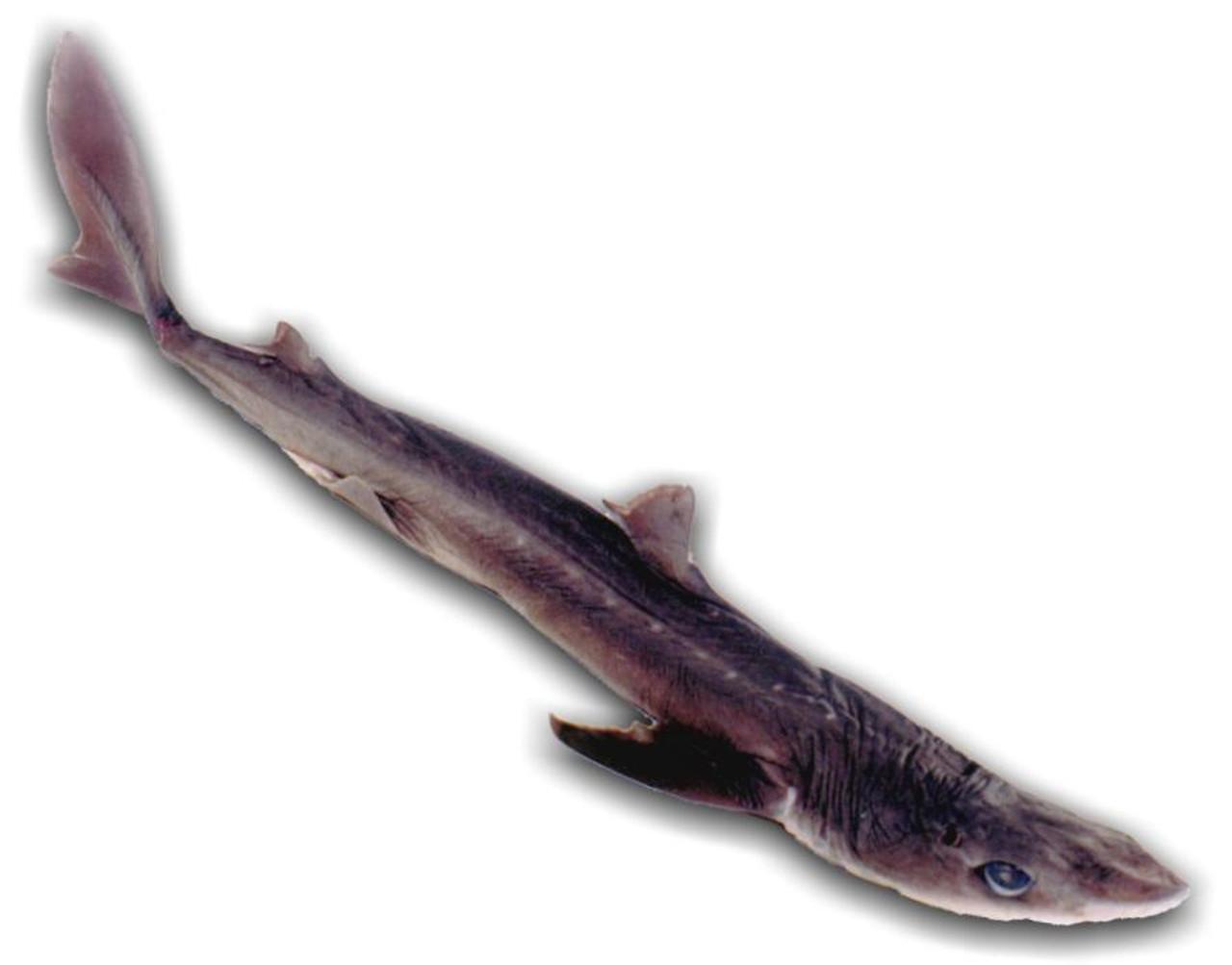 Dogfish Shark Dissection - Anatomy Lab