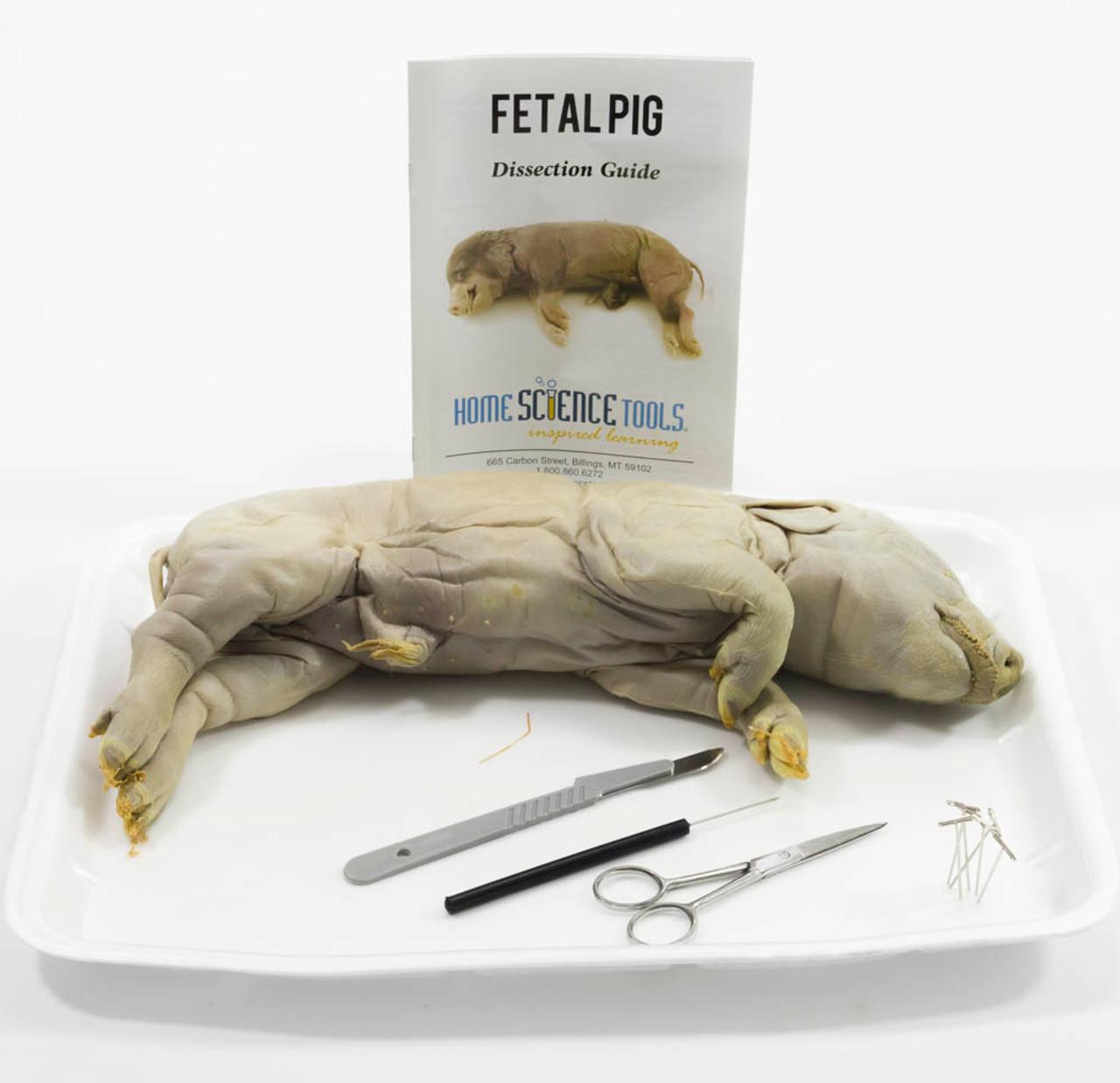 Large Fetal Pig Dissection Kit