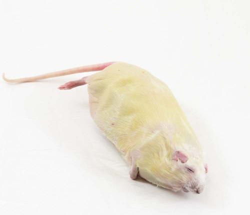 Rat Specimen, Pregnant, Double Injected