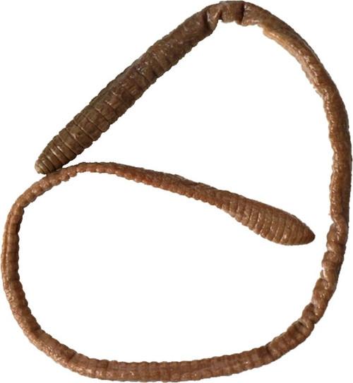"Earthworm Specimen, 9-12"", Plain"