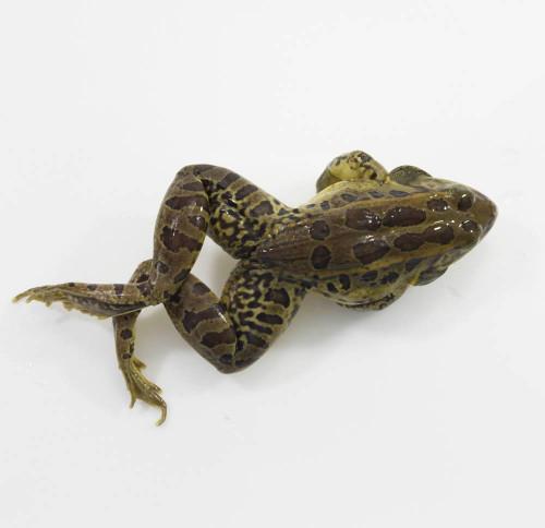 """Frog Specimen, Grass, 4""""-4.5"""", Plain"""