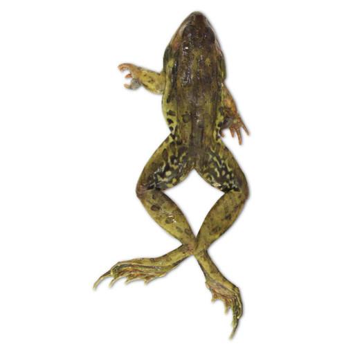 """Frog Specimen, Grass, 3.5""""-4"""", Plain"""