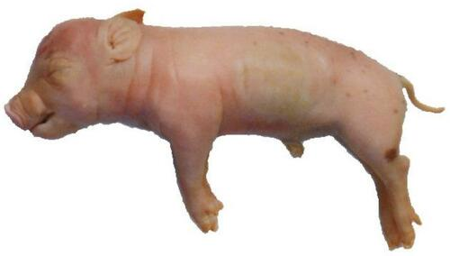 "Fetal Pig Specimen, 7""-10"", Double Injected"