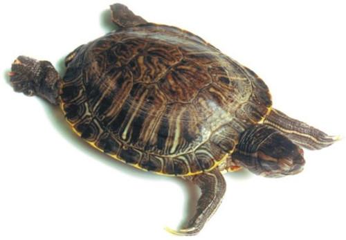 "Turtle Specimen, 6""-8"", Double Injected"