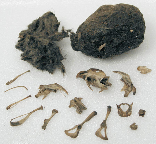 Dissecting owl pellets online dating