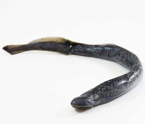 "Lamprey Specimen, 18""-28"", Plain"