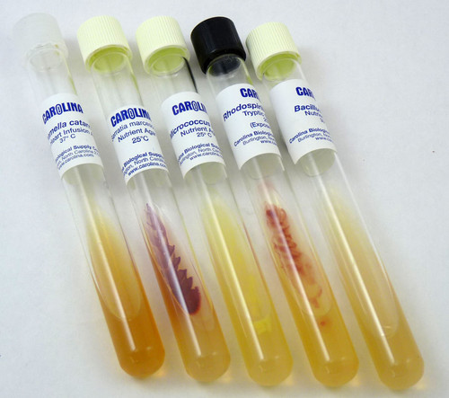 Gram Stain Bacteria Comparison Set - Live Culture