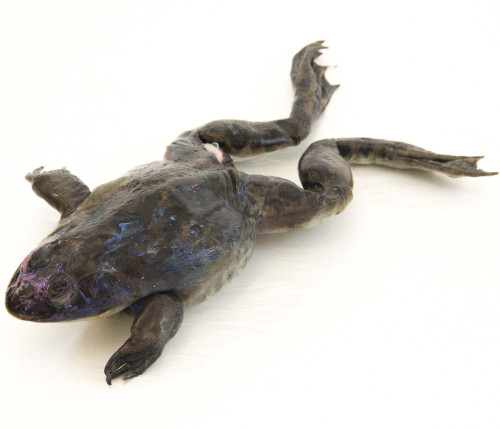 "Bullfrog Specimen, 5""-6"", Double Injected"