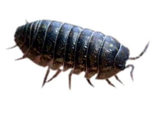 Pill or Sow Bugs, 12 pack