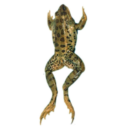 "Frog Specimen, Grass, 3.5""-4"", Single Injected"