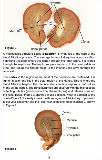 Kidney Dissection Guide