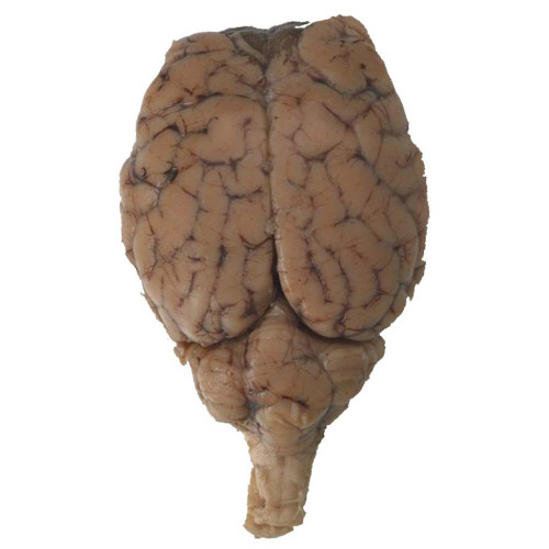 Sheep Brain Cranial Nerves Dissection