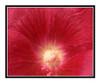 Red Hollyhock Flower Detail 2642