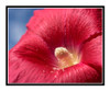 Red Hollyhock Flower Detail Against a Blue Sky 2646