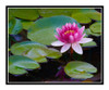 Pink Water Lily Flower in a Pond in Summer 2700