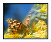 Painted Lady Butterfly on Yellow Flowers 2727