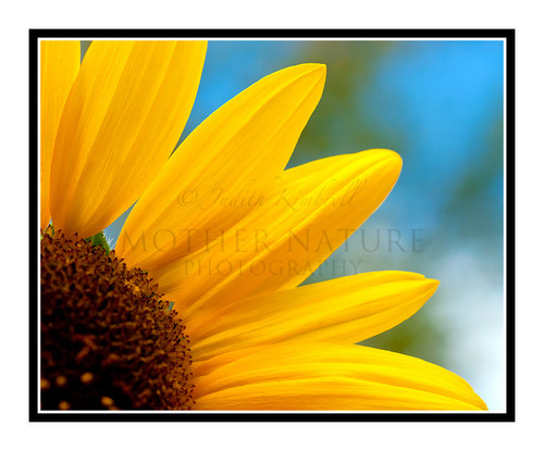 Yellow Sunflower Detail in a Garden 1816
