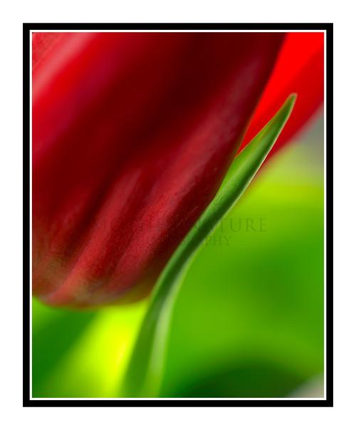 Red Tulip Flower Detail 2386