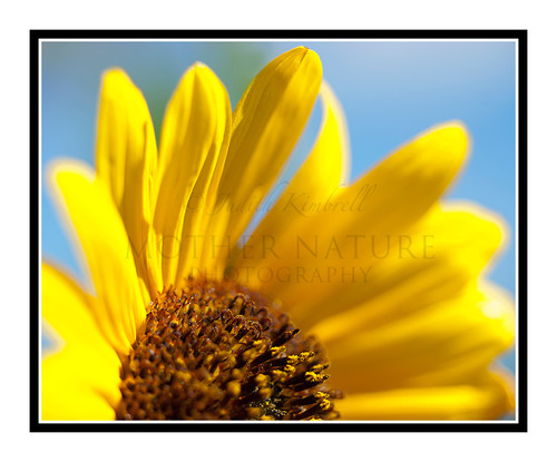 Yellow Sunflower Detail in a Garden 1821